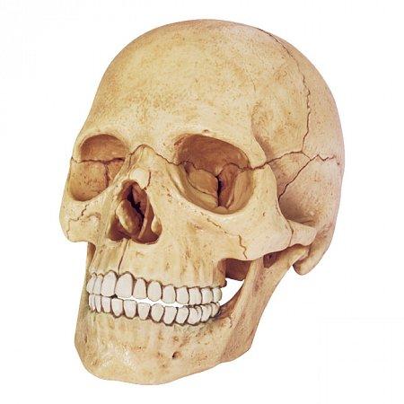 4D Master - Объемная анатомическая модель Череп человека (26086)