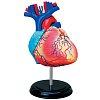 4D Master - Объемная анатомическая модель Сердце человека (26052)