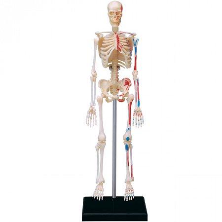 4D Master - Объемная анатомическая модель Скелет человека (26059)