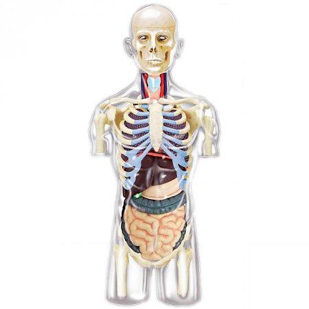 4D Master - Объемная анатомическая модель Торс человека (26068)