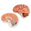 4D Master - Объемная анатомическая модель Черепно-мозговая коробка человека (26053)