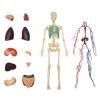 4D Master - Объемная модель Тело человека (прозрачное), 26070